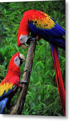 Meeting Of The Macaws  Metal Print by Harry Spitz