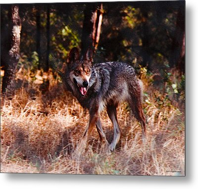 Mexican Red Wolf Metal Print by DiDi Higginbotham
