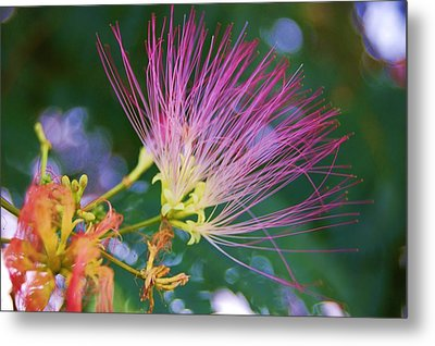 Mimosa Fairy Metal Print by Beverly Hammond