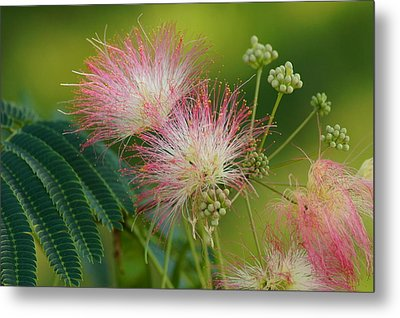 Mimosa  Up Close Metal Print