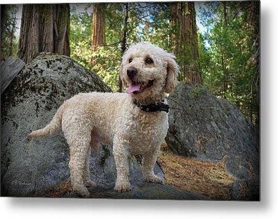 Mini Poodle Metal Print