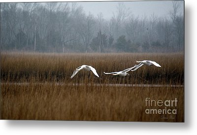 Misty Mute Swans Soaring South Jersey Wetlands Metal Print by Diana Wind