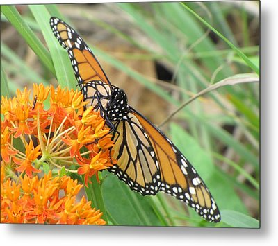 Metal Print featuring the photograph Monarch Butterfly 3049 by Maciek Froncisz
