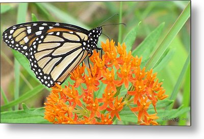 Metal Print featuring the photograph Monarch Butterfly 3050 by Maciek Froncisz