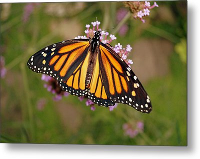 Monarch Butterfly Metal Print by Beth Collins