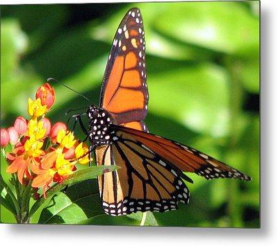 Monarch Butterfly On Milkweed Metal Print