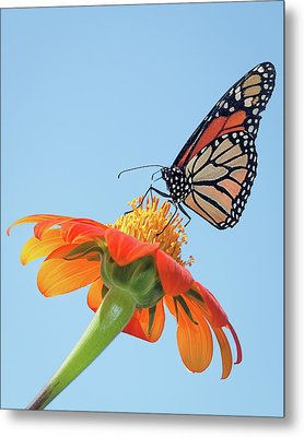 Metal Print featuring the photograph Monarch II by Dawn Currie