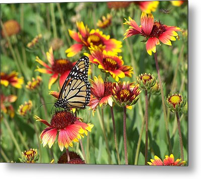 Metal Print featuring the photograph Monarch On Blanketflower by Peg Urban