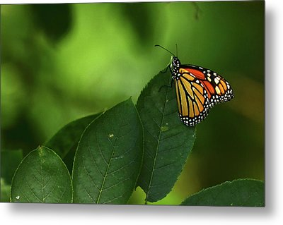 Monarch On Leaf Metal Print by Ann Bridges
