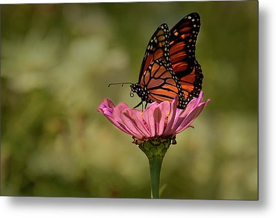 Monarch On Pink Zinnia Metal Print by Ann Bridges