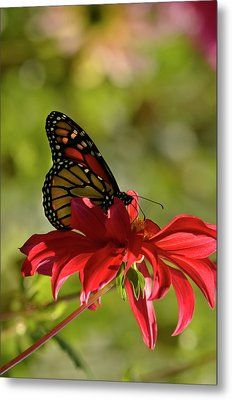 Monarch On Red Zinnia Metal Print by Ann Bridges