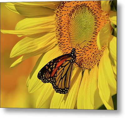 Monarch On Sunflower Metal Print by Ann Bridges