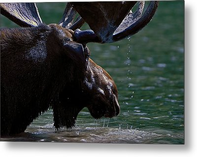 Moose Head Metal Print