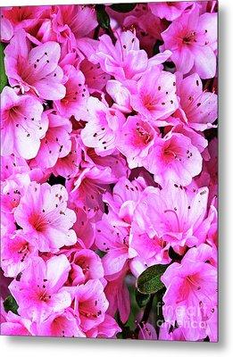 More Pink Azaleas Metal Print by Larry Oskin