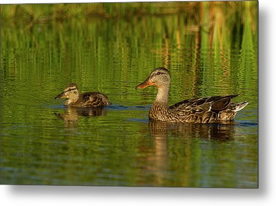 Metal Print featuring the photograph Mother And Child Mallards by Jean Noren