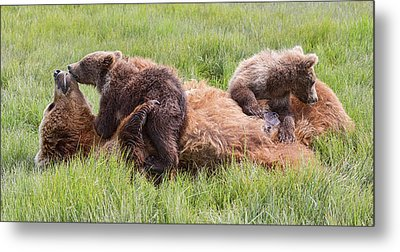 Mother Grizzly Suckling Twin Cubs Metal Print