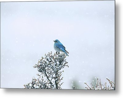 Mountain Bluebird In Snow Metal Print by Pat Gaines