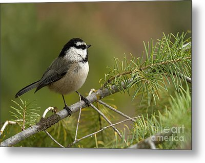 Mountain Chickadee Metal Print by Beve Brown-Clark Photography