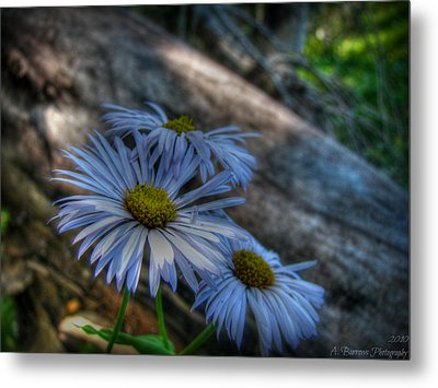 Mountain Daisies And A Downed Spruce Metal Print