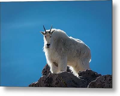 Metal Print featuring the photograph Mountain Goat 3 by Gary Lengyel