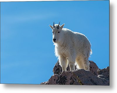 Metal Print featuring the photograph Mountain Goat 4 by Gary Lengyel
