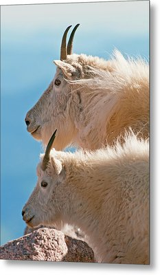 Metal Print featuring the photograph Mountain Goats by Gary Lengyel