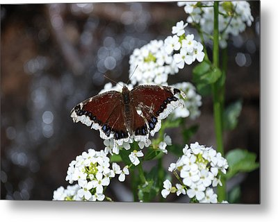 Mourning Cloak Metal Print by Jason Coward