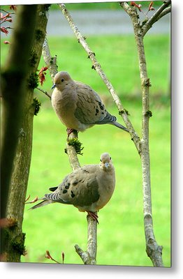 Mourning Doves Metal Print by Lisa Rose Musselwhite