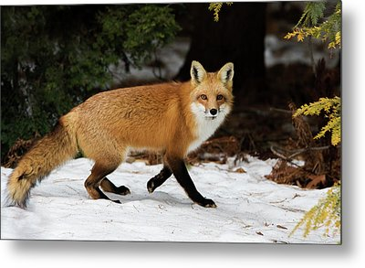 Metal Print featuring the photograph Mr Fox by Mircea Costina Photography