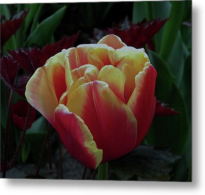Metal Print featuring the photograph Mysterious Tulip by Manuela Constantin