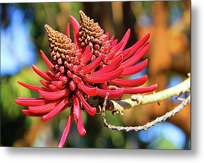 Naked Coral Tree Flower Metal Print