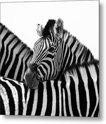 Namibia Zebras IIi Metal Print by Nina Papiorek
