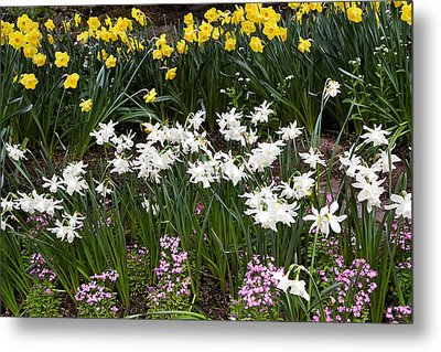 Narcissus And Daffodils In A Spring Flowerbed Metal Print by Louise Heusinkveld
