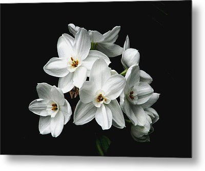 Narcissus The Breath Of Spring Metal Print by Angela Davies