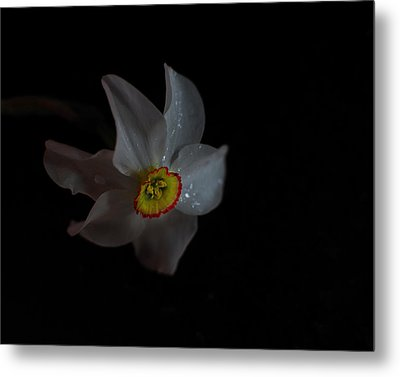 Metal Print featuring the photograph Narcissus by Susan Capuano