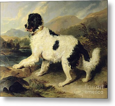 Newfoundland Dog Called Lion Metal Print by Sir Edwin Landseer