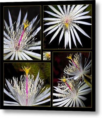 Night Blooming Cactus Flower Metal Print by Kelley King