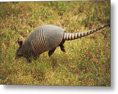Nine-banded Armadillo Jumping Metal Print
