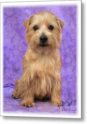 Norfolk Terrier Pup Metal Print by Maxine Bochnia