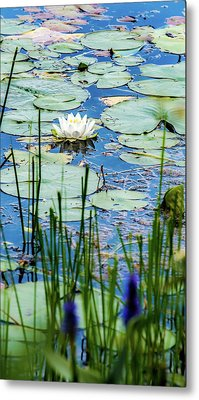 North American White Water Lily Metal Print
