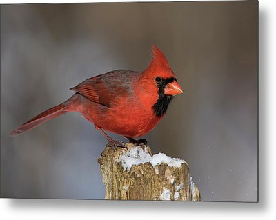 Metal Print featuring the photograph Northern Cardinal In Winter by Mircea Costina Photography