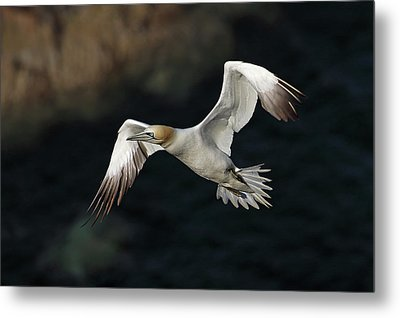 Metal Print featuring the photograph Northern Gannet In Flight by Grant Glendinning