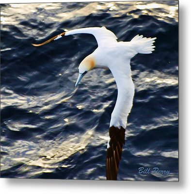 Northern Gannet Looking For A Meal Offshore Metal Print by Bill Perry