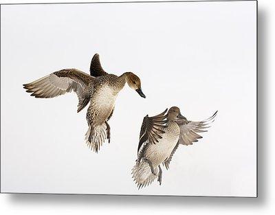 Northern Pintail Anas Acuta Duck Metal Print by Wim Weenink