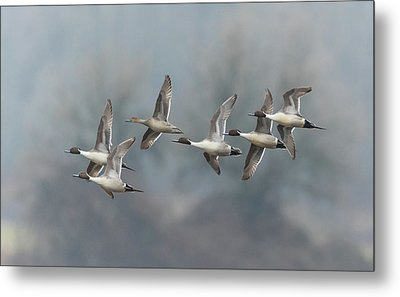 Metal Print featuring the photograph Northern Pintails In Flight by Angie Vogel