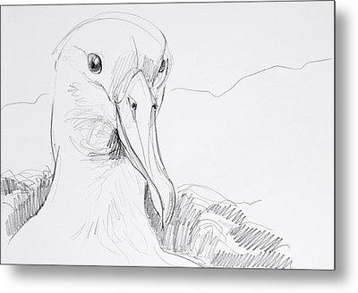 Northern Royal Albatross Metal Print