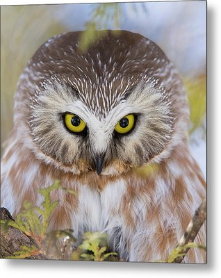 Metal Print featuring the photograph Northern Saw-whet Owl Portrait by Mircea Costina Photography