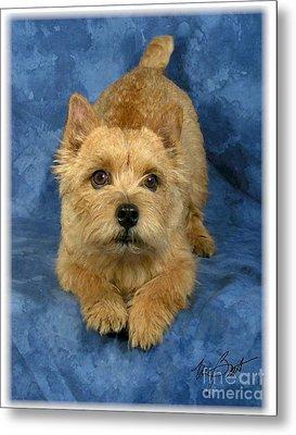 Norwich Terrier Pup Metal Print by Maxine Bochnia