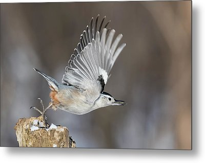 Metal Print featuring the photograph Nuthatch In Action by Mircea Costina Photography