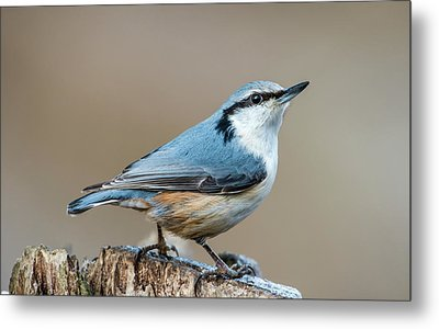 Metal Print featuring the photograph Nuthatch's Pose by Torbjorn Swenelius